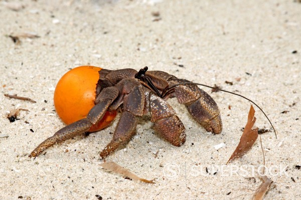 Stock Photo: 1566-891507 this terrestrial hermit crab, Coenobita, is using an orange table tennis ball as a protective shell instead of the usual mollusk shell  This is an environmental issue as more rubbish is thrown in the ocean to wash up on the sea shore  These crabs can carr. this terrestrial hermit crab, Coenobita, is using an orange table tennis ball as a protective shell instead of the usual mollusk shell  This is an environmental issue as more rubbish is thrown in the ocean to wash up on the sea shore  These cr