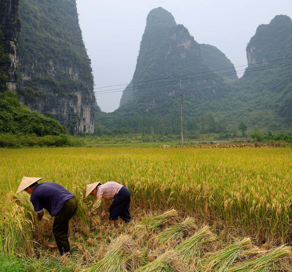 Stock Photo: 1566-891538 Husband and wife hand sickling rice with karst limestone peaks near Yangshuo China