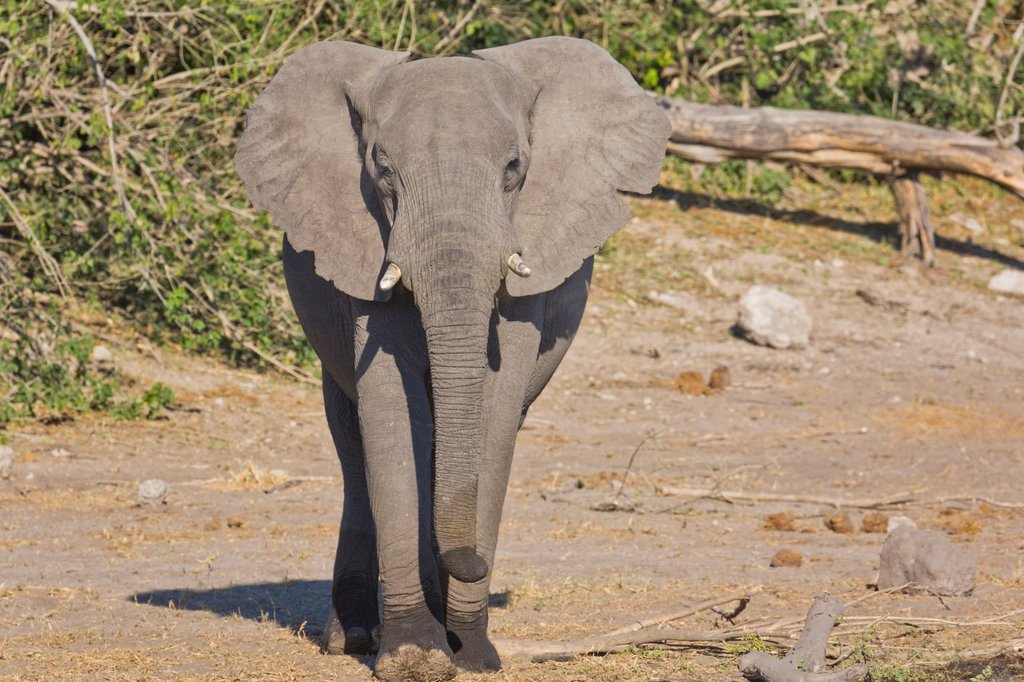 Stock Photo: 1566-892163 An african elephant Loxodonta africana looking at the camera, Botswana, Africa