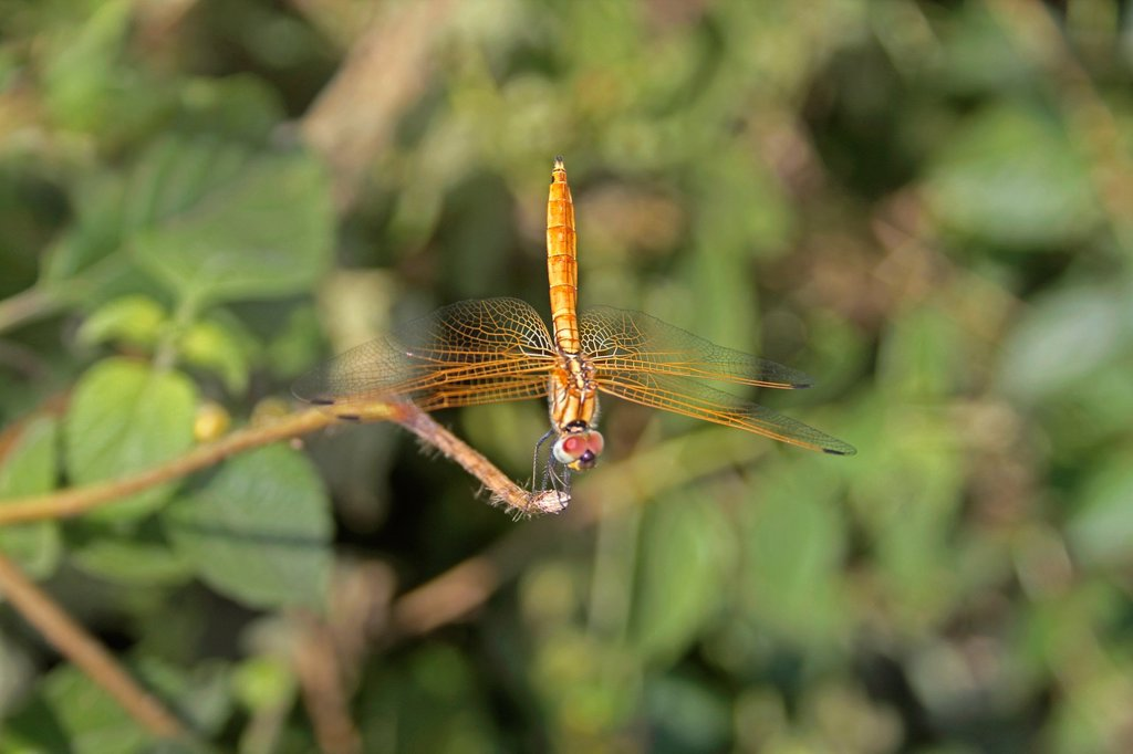 Black-tailed Skimmer Dragonfly, Orthetrum cancellatum, Maharashtra, India : Stock Photo