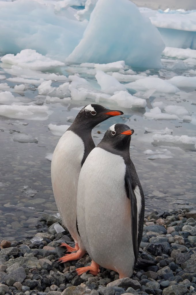 Stock Photo: 1566-892751 Gentoo Penguins Pygoscelis papua on the beach, Cuverville Island, Antarctic Peninsula