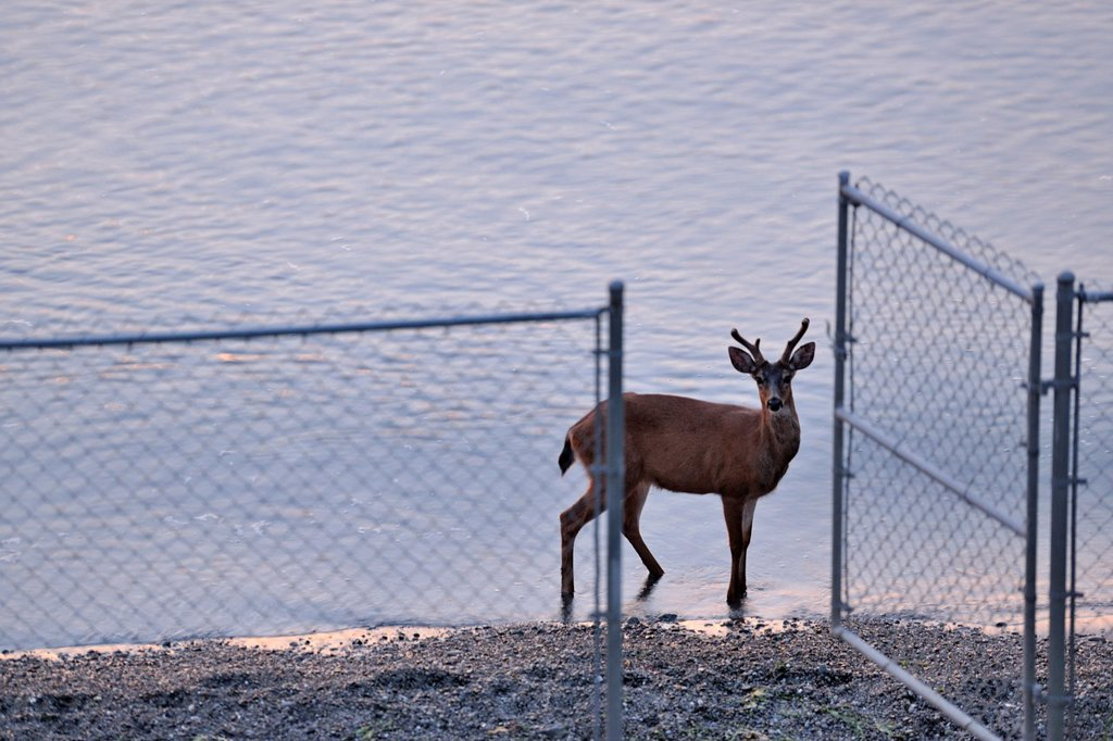 Stock Photo: 1566-893119 Mule deer walking Cordova Beach at dawn at high tide, Victoria, BC, Canada