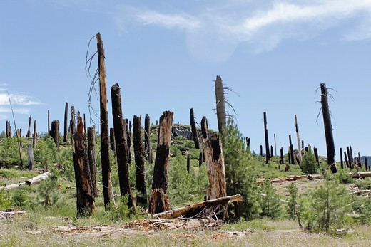 The Rainbow Fire, ocurred in 1992, Devils Postpile National Monument, Mammoth Lakes, California, USA : Stock Photo