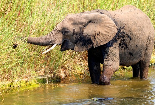 African Elephant Loxodonta africana, eating reeds in the river  The Common Reeds Phragmites australis are found in wetland, banks and shallows, the elephant eat them in dry season : Stock Photo