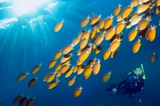 Diver with Damselfish Chromis cf analis  Indonesia : Stock Photo