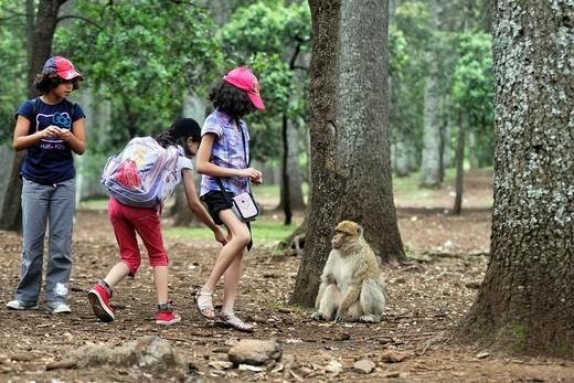 children and Barbary Macaque, Atlas cedar forest, near Azrou, Middle Atlas, Morocco, North Africa : Stock Photo