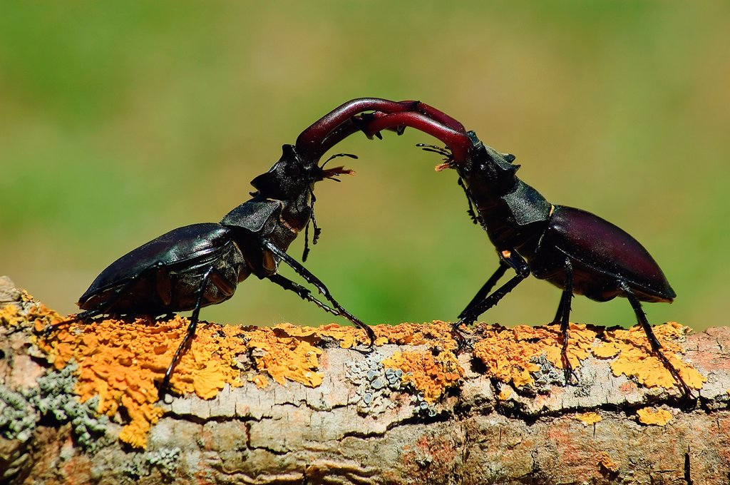 Stock Photo: 1566-897663 Lucanus cervus, fighting