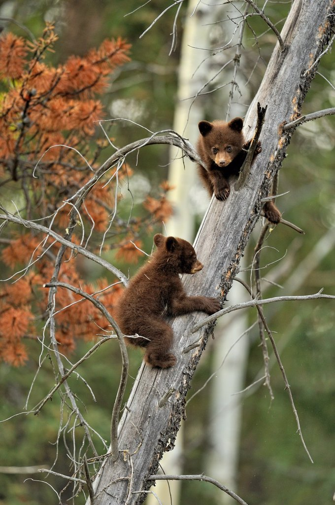 Stock Photo: 1566-899989 American Black bear Ursus americanus Two young cubs playing in the safety of a dead snag