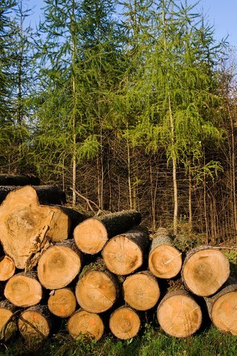 Wood harvest, cultivated forest, Schleswig-Holstein, Germany : Stock Photo