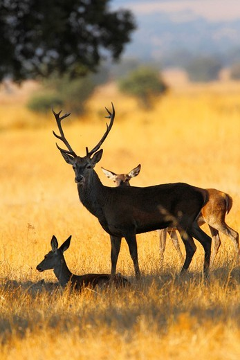 cervus elaphus in cabañeros national park : Stock Photo