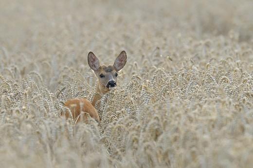 Roe buck in wheat field, Capreolus capreolus, Hessen, Germany, Europe : Stock Photo