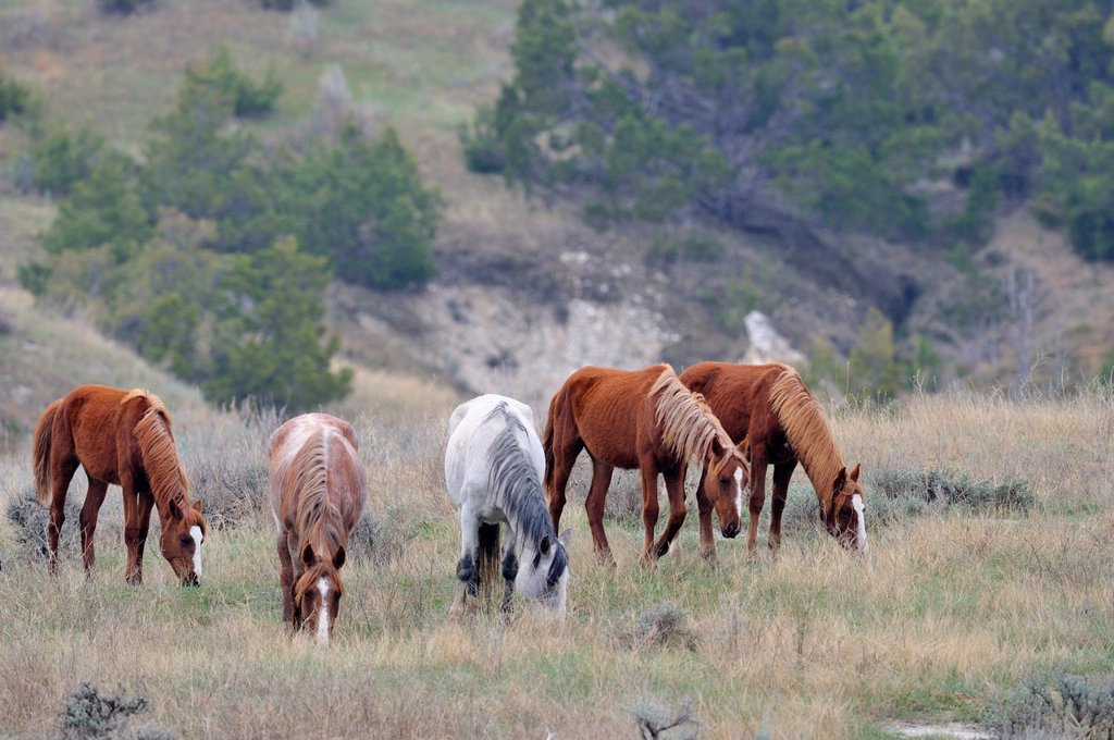 Wild feral horse Equus caballus Feeding in badlands landscape  Theodore roosevelt south unit North Dakota : Stock Photo