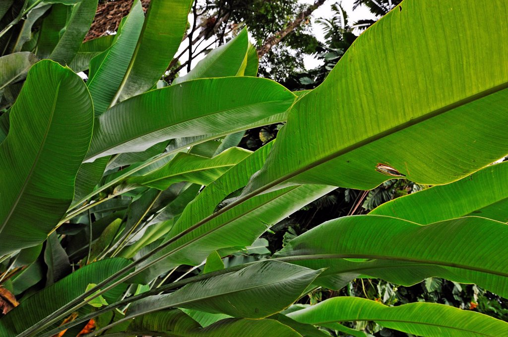 Stock Photo: 1566-901372 Banana trees (Musa sp.) leaves, Big Island, Hawaii Islands, USA
