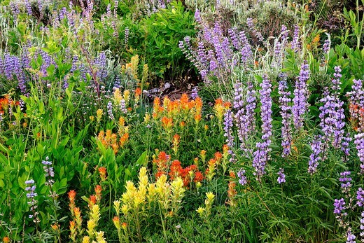 Stock Photo: 1566-903207 Wildflowers bloom in th El Dorado Forest of Northern California