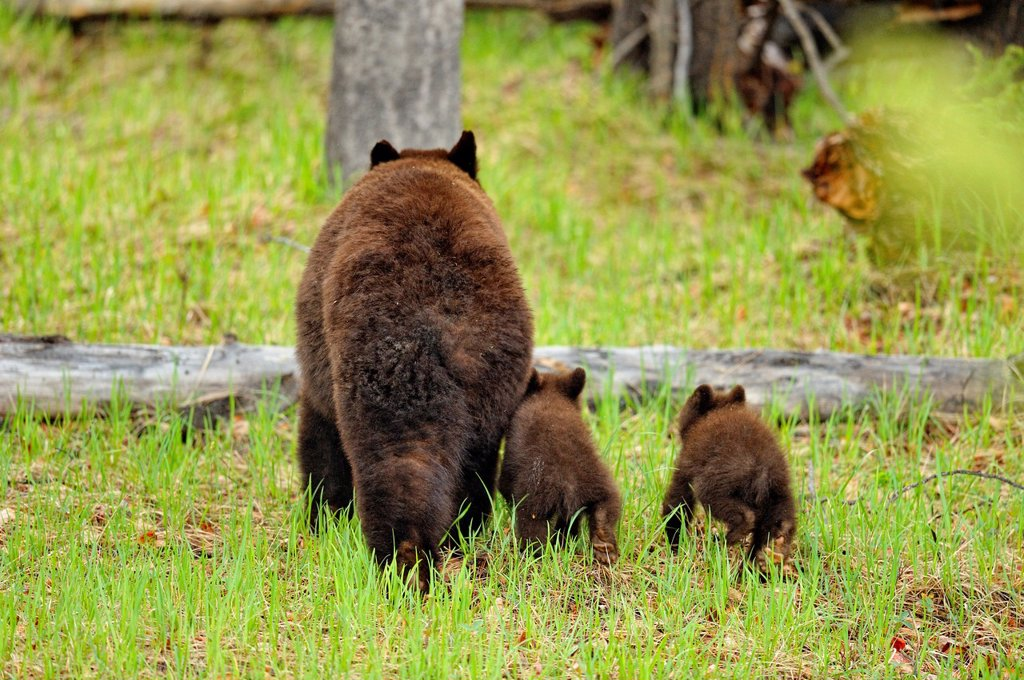 Stock Photo: 1566-903913 American Black bear Ursus americanus Mother and cubs, Jasper NP, Alberta, Canada