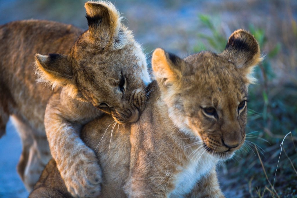 Stock Photo: 1566-904295 Two lion cubs (Panthera leo) playfighting, Botswana, Africa