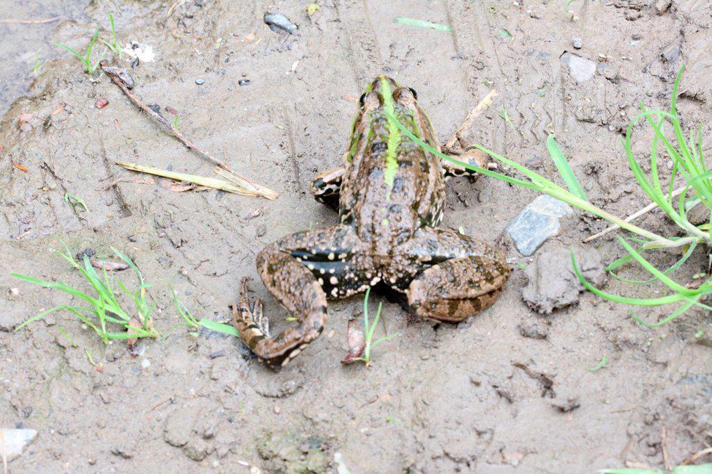 Marsh Frog, Pelophylax ridibundus  Female  from above  Back  Legs extended while crawling : Stock Photo