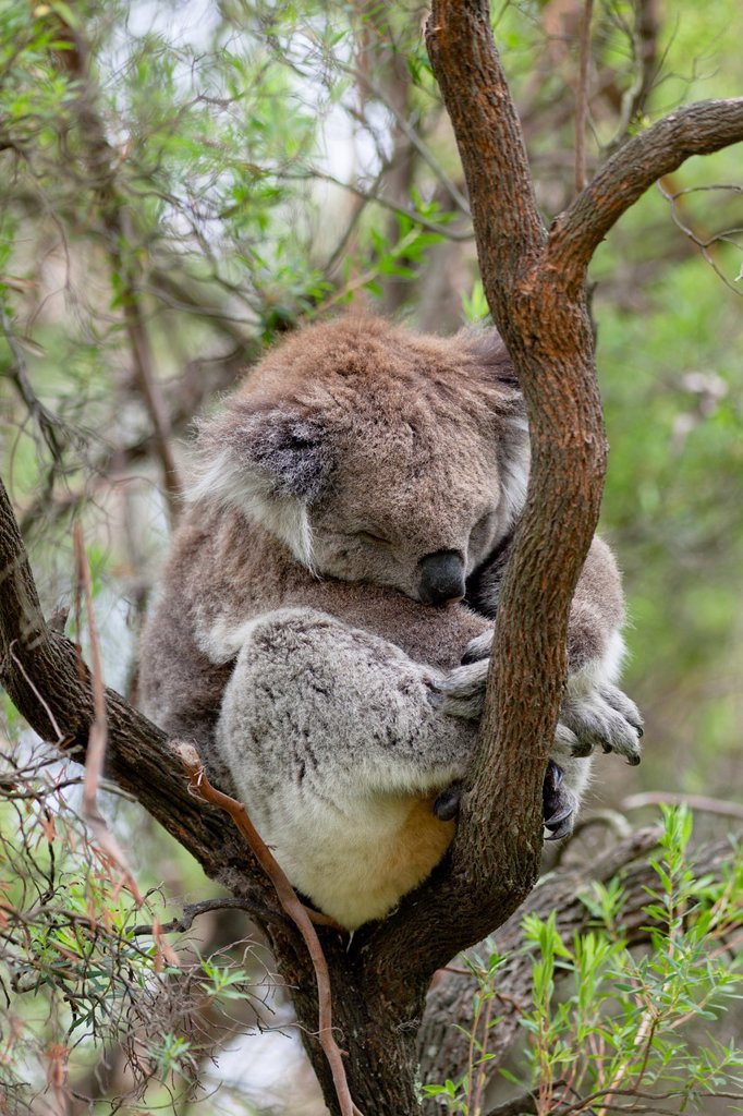 The Koala Phascolarctos cinereus is an iconic symbol for the wildlife of Australia. Australia, South Australia : Stock Photo