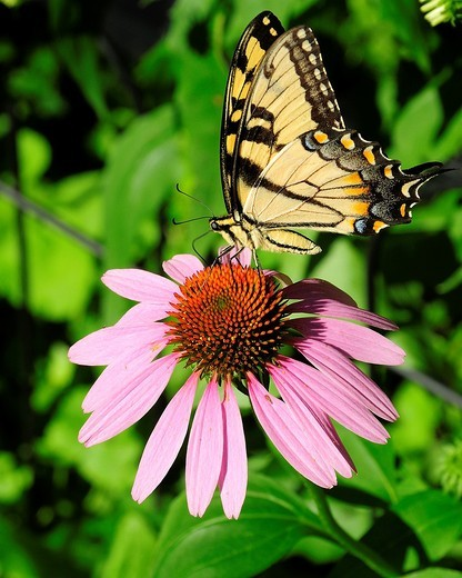Stock Photo: 1566-905862 Male Eastern Tiger Swallowtail on Purple Cone flower in Fox River Grove, Illinois, USA