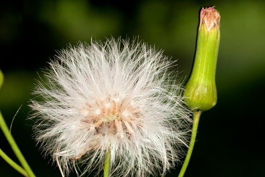 Stock Photo: 1566-906996 Dandelion seed and stem