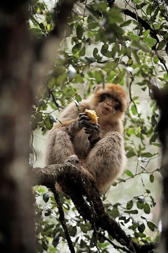 Stock Photo: 1566-907694 Barbary Macaque, Atlas cedar forest, near Azrou, Middle Atlas, Morocco, North Africa