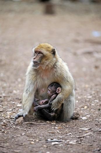Stock Photo: 1566-907695 Barbary Macaque, Atlas cedar forest, near Azrou, Middle Atlas, Morocco, North Africa