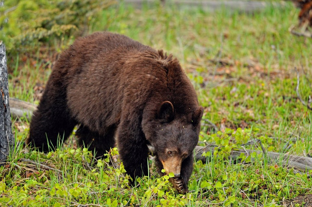 Stock Photo: 1566-908440 American Black bear Ursus americanus Mother bear feeding on leaves she brought down from a poplar tree, Jasper NP, Alberta, Canada