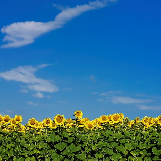 Stock Photo: 1566-908883 Field of sunflowers  Auvergne  France