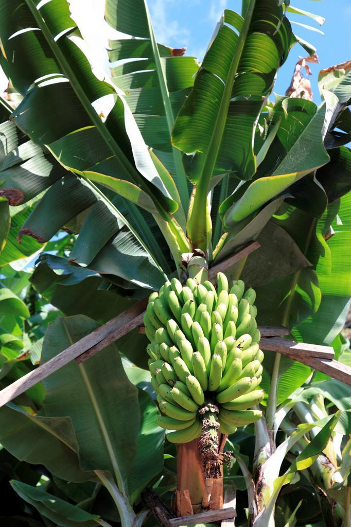 Stock Photo: 1566-909431 banana tree and banana fruit on tree on the island of Madeira, Portugal, Europe.