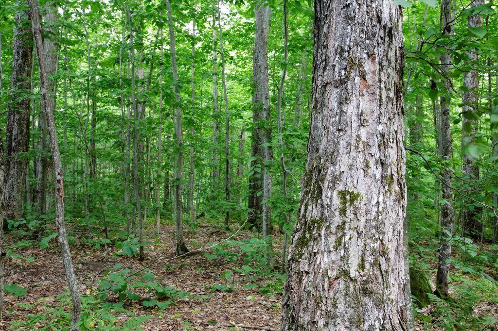 Hardwoods in Gale River forest of the White Mountains, New Hampshire USA : Stock Photo