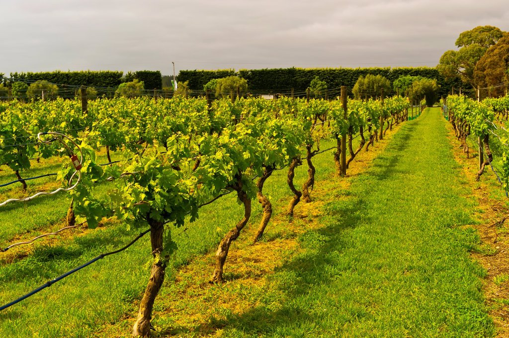 Stock Photo: 1566-910174 Vineyards, Ata Rangi Winery, Martinborough, North Island, New Zealand