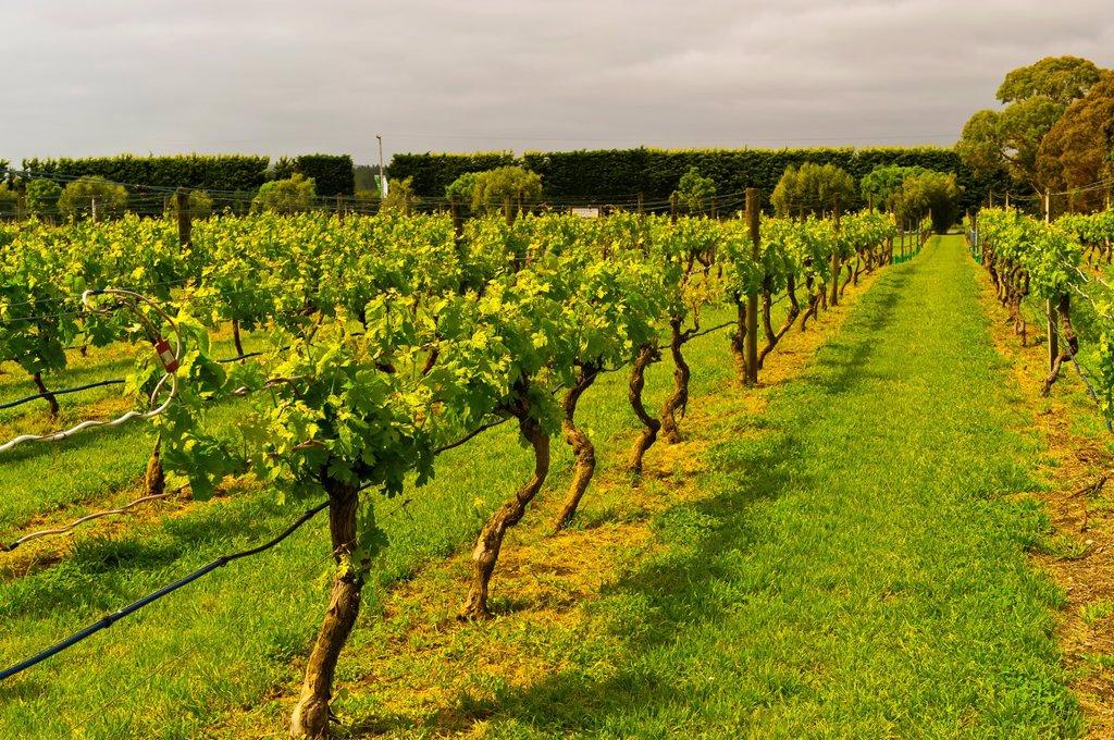 Vineyards, Ata Rangi Winery, Martinborough, North Island, New Zealand : Stock Photo