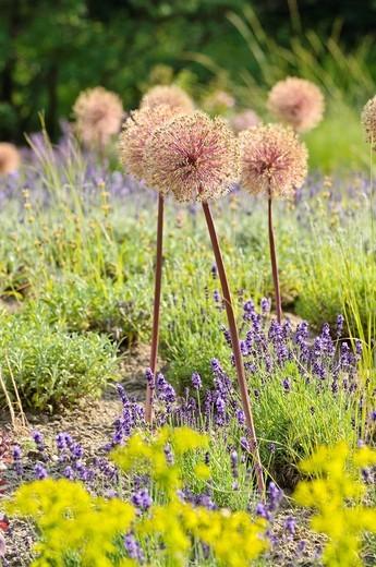 Stock Photo: 1566-910267 Allium Allium and lavender Lavandula