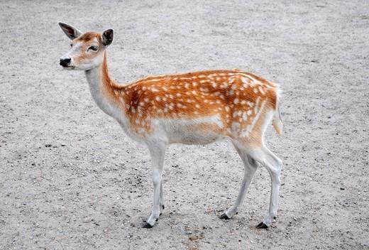 Fellow deer female Dama dama in Serengeti Park, Hodenhagen, Germany : Stock Photo