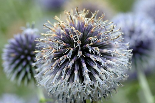 Echinops ritro - specie of globe thistle : Stock Photo