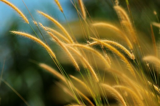 pampas grass of Borneo, borneo : Stock Photo