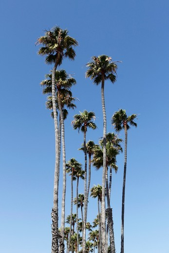 Palm trees at Santa Barbara, California, USA : Stock Photo