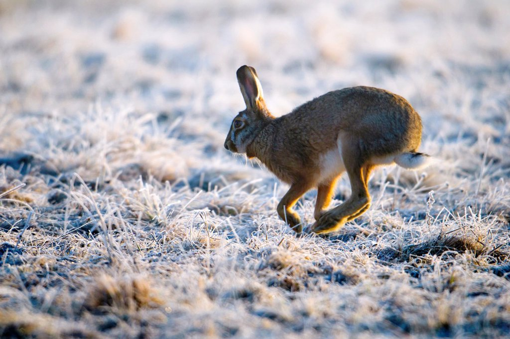 Stock Photo: 1566-915194 Hare Lepus europaeus, running in meadow with hoar frost, morning light, Bavaria