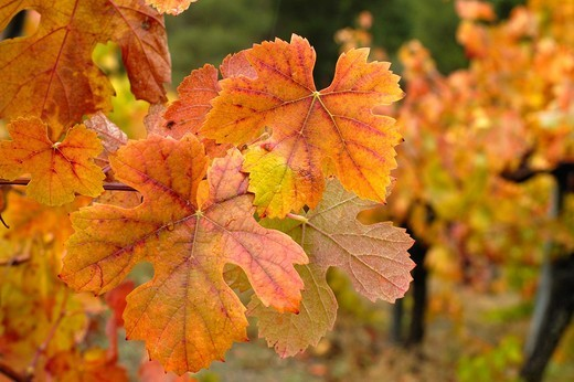 Stock Photo: 1566-915268 Vineyard in autumn  Quiroga, Lugo, Galicia, Spain