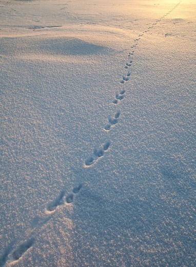 Animal tracks on snow at Winter, LocationNallikari,Oulu,Finland,Scandinavia,Europe : Stock Photo