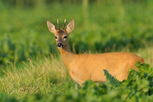 Roe buck, Capreolus capreolus, Hessen, Germany, Europe : Stock Photo