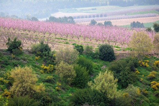 Stock Photo: 1566-919692 Israel, Upper Galilee, Metula, fruit trees by frontier with Lebanon, early spring