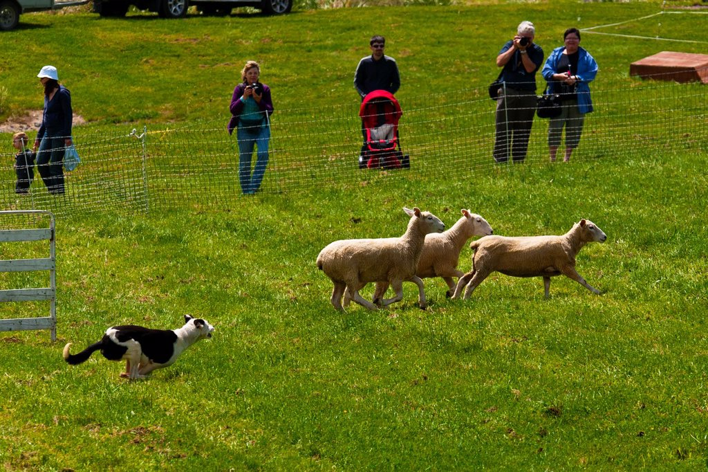 Stock Photo: 1566-921080 A sheep dog trials competition, Clevedon Village Agricultural and Pastoral Society Show, Clevedon near Auckland, North Island, New Zealand