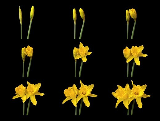 two daffodils flowering in time lapse, multiple images : Stock Photo