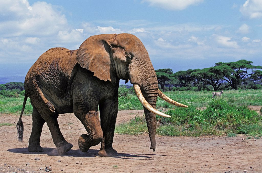 African Elephant, loxodonta africana, Adult in Amboseli Park, Kenya : Stock Photo