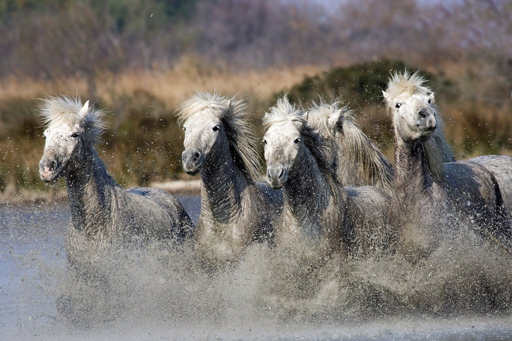 Stock Photo: 1566-925840 Camargue Horse, Herd Galloping in Swamp, Saintes Marie de la Mer in South East of France