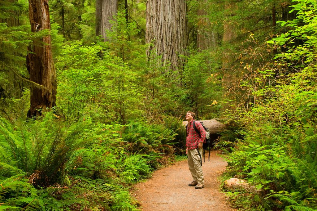Coast redwood forest along Simpson-Reed Trail, Jedediah Smith Redwoods State Park, Redwood National Park, California : Stock Photo