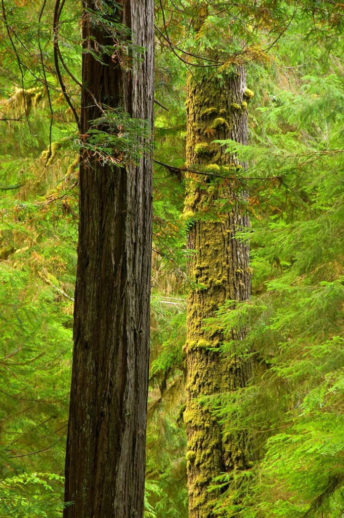 Stock Photo: 1566-926163 Coast redwood forest along James Irvine Trail, Prairie Creek Redwoods State Park, Redwood National Park, California