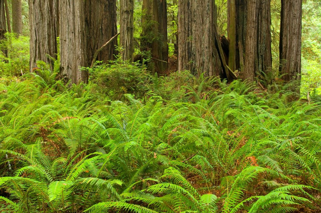 Stock Photo: 1566-926164 Coast redwood forest with sword fern along James Irvine Trail, Prairie Creek Redwoods State Park, Redwood National Park, California