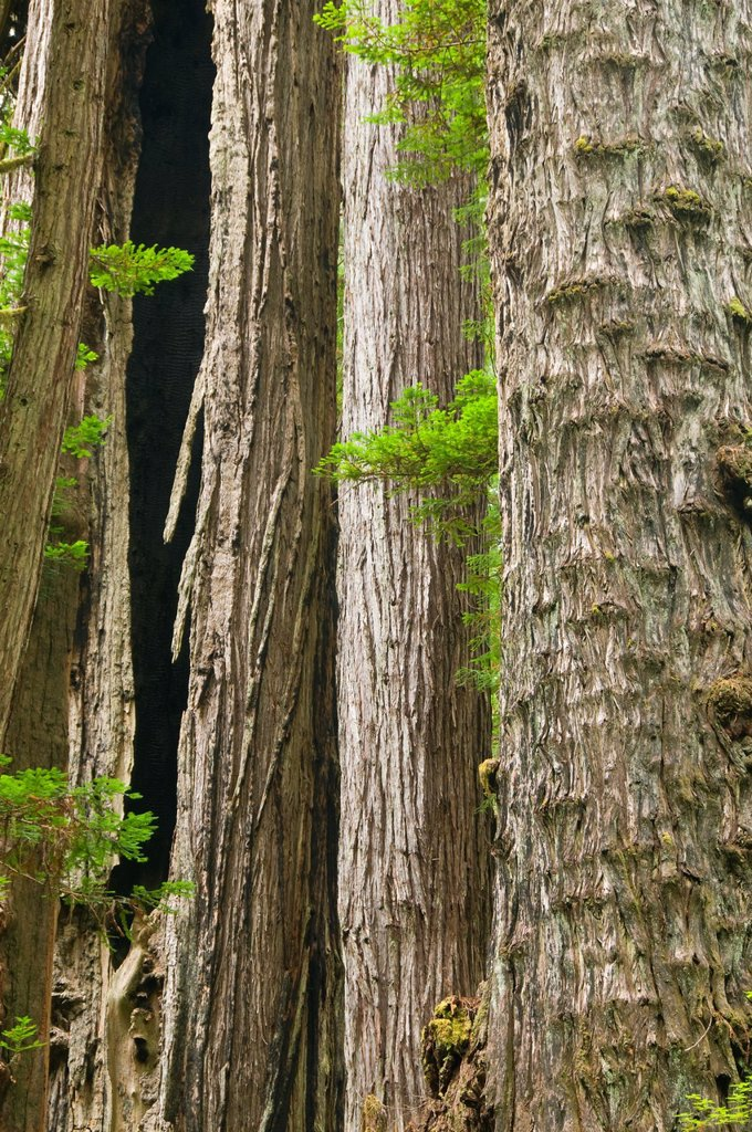 Coast redwood forest along James Irvine Trail, Prairie Creek Redwoods State Park, Redwood National Park, California : Stock Photo